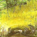 laburnum arch at bodnant garden